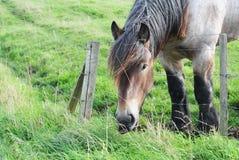 Cavallo di cambiale della Brabante immagini stock