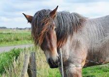 Cavallo di cambiale della Brabante Immagini Stock Libere da Diritti