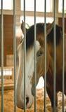 Cavallo di Clydesdale Immagine Stock