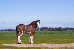 Cavallo di Clydesdale in prato Fotografie Stock Libere da Diritti