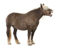 Cavallo di Comtois, un cavallo di cambiale, caballus del Equus Fotografie Stock