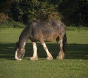 Cavallo di contea Immagini Stock