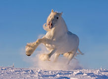 Cavallo di contea bianco che funziona nella neve fotografia stock libera da diritti