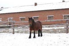 Cavallo di contea russo della baia Immagini Stock Libere da Diritti