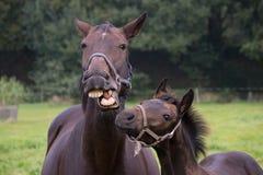 Cavallo di conversazione con il puledro Immagine Stock Libera da Diritti
