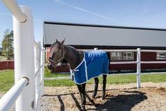 Cavallo di corsa Fotografia Stock