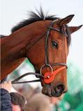 Cavallo di corsa Fotografia Stock Libera da Diritti