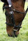 Cavallo di corsa che pasce 01 Immagini Stock Libere da Diritti