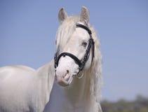 Cavallo di Cremello in ritratto del freno Fotografia Stock