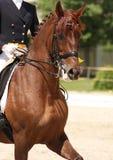 Cavallo di Dressage Immagine Stock