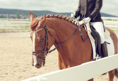 Cavallo di Dressage Immagini Stock Libere da Diritti