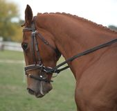 Cavallo di Dressage della castagna Fotografia Stock