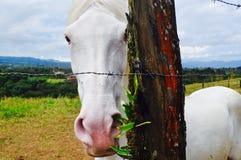 Cavallo di EL Sabino White Immagini Stock