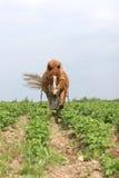 Cavallo di funzionamento nel Belarus Fotografia Stock