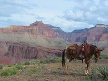 Cavallo di Grand Canyon Fotografie Stock
