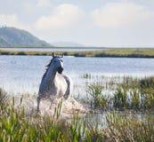Cavallo di Gray Arab Immagine Stock