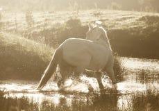 Cavallo di Gray Arab Immagine Stock Libera da Diritti