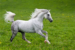 Cavallo di Gray Arab Immagine Stock