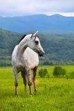 Cavallo di Gray Arab Fotografia Stock Libera da Diritti