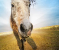 Cavallo di Gray Funny sul fondo del campo di autunno fotografia stock