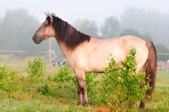 Cavallo di Grullo bashkir fotografie stock