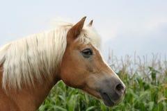 Cavallo di Haflinger fotografie stock