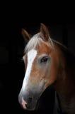 Cavallo di Haflinger Fotografie Stock Libere da Diritti
