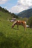 Cavallo di Haflinger che si alimenta in Alpes fotografia stock