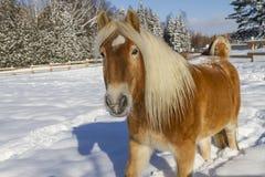 Cavallo di Haflinger dell'austriaco Immagine Stock Libera da Diritti