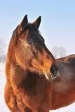 Cavallo di Hanoverian nell'inverno Fotografie Stock