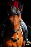 Cavallo di Holsteiner Immagine Stock