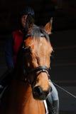 Cavallo di Holsteiner fotografia stock