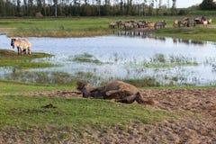 Cavallo di Konik che arriva a fiumi la sabbia per rimuovere i parassiti Fotografia Stock