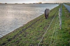 Cavallo di Konik che pasce sul pendio di una diga olandese fotografia stock