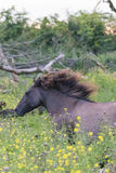 Cavallo di Konik sul movimento fotografie stock libere da diritti