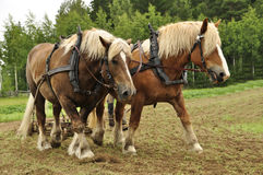 Cavallo di lavoro Fotografie Stock Libere da Diritti