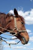 Cavallo di lavoro Immagine Stock