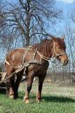 Cavallo di lavoro Fotografie Stock