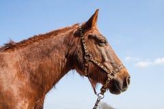 Cavallo di lavoro di Brown con il cablaggio su Sunny Blue Sky Day Fotografia Stock Libera da Diritti