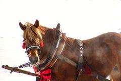 Cavallo di lavoro inattivo dopo lavoro Immagine Stock Libera da Diritti