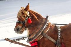 Cavallo di lavoro inattivo dopo lavoro Fotografia Stock Libera da Diritti