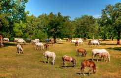 Cavallo di Lipica sul pascolo Fotografie Stock
