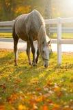 Cavallo di Lipizzan che pasce fotografia stock libera da diritti