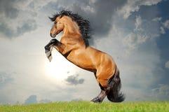 Cavallo di lusitano della baia che si eleva nel campo Immagini Stock