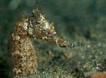 Cavallo di mare che mangia un brineshrimp Immagine Stock