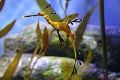 Cavallo di mare dell'alga Fotografie Stock Libere da Diritti