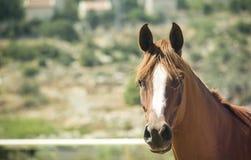 Cavallo di mattina Fotografia Stock