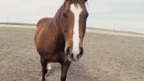 Cavallo di Pan Around Brown And White video d archivio