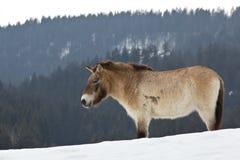 Cavallo di Przewalski Fotografia Stock Libera da Diritti