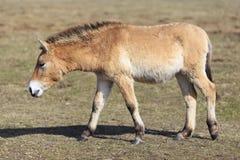 Cavallo di Przewalski dal lato Fotografie Stock Libere da Diritti